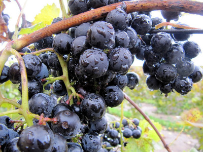picture of grapes from a michigan winery