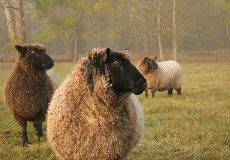 Woolverton Inn Sheep