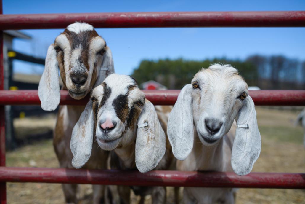 Goats-1030x688.jpg