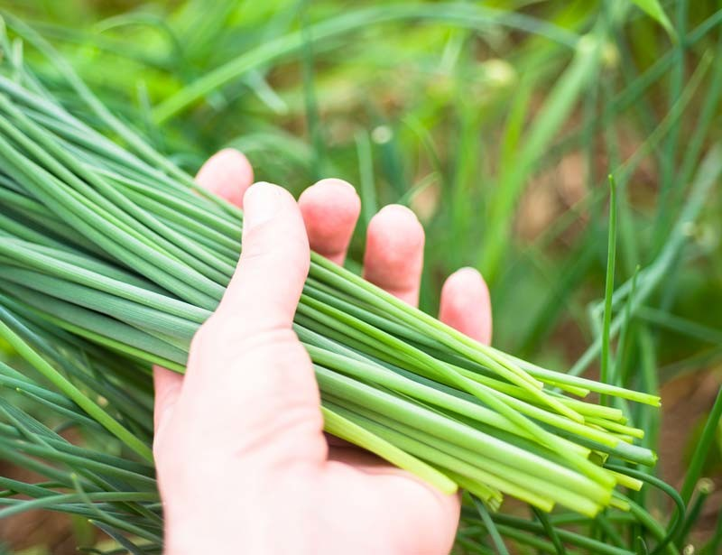 Fresh chives from our herb garden