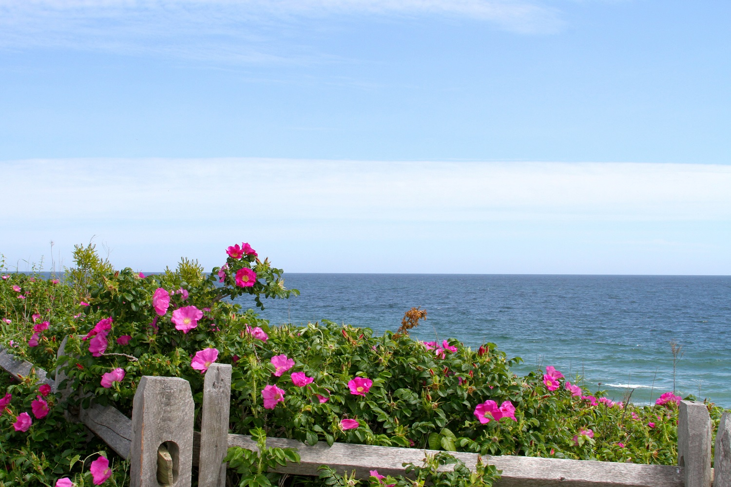 Beach roses growing wild on the New England coast
