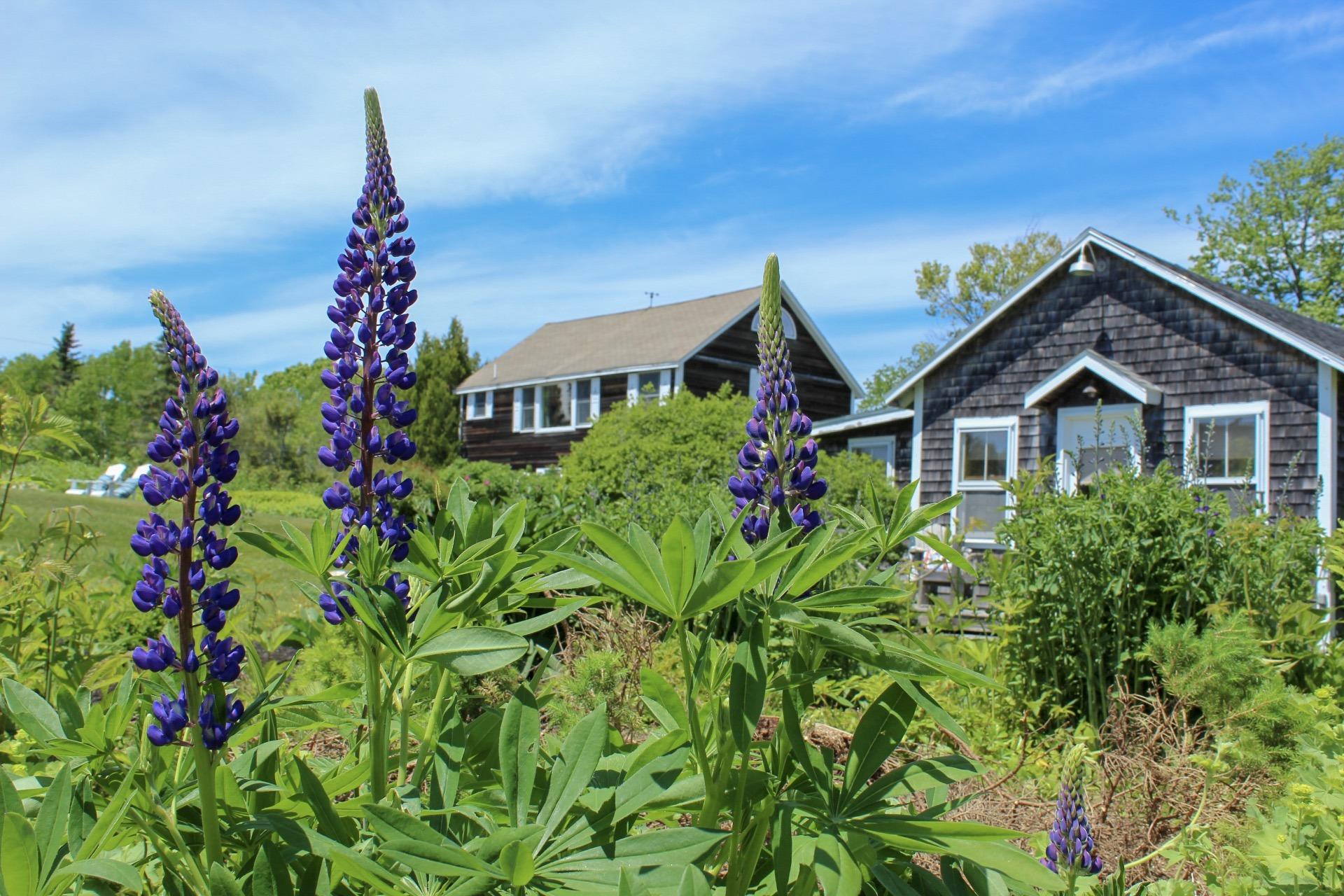 Lupine with car house and gb - The Bradley Inn