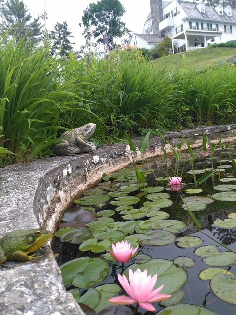 Lillies in the Pond in Bloom
